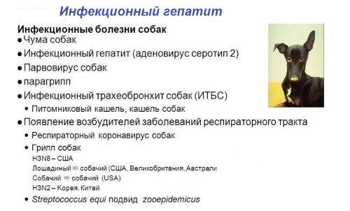 Аденовироз и аденовирусная инфекция у собак: симптомы и лечение