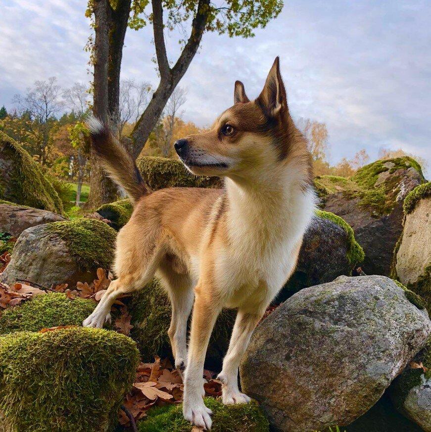 Охотник в отставке – норвежский лундехунд