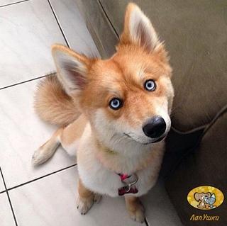 Собаки, похожие на лис