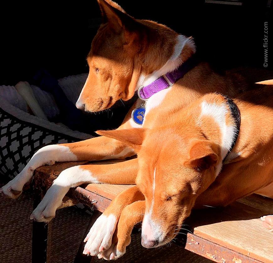 Породы собак, которые практически никогда не лают