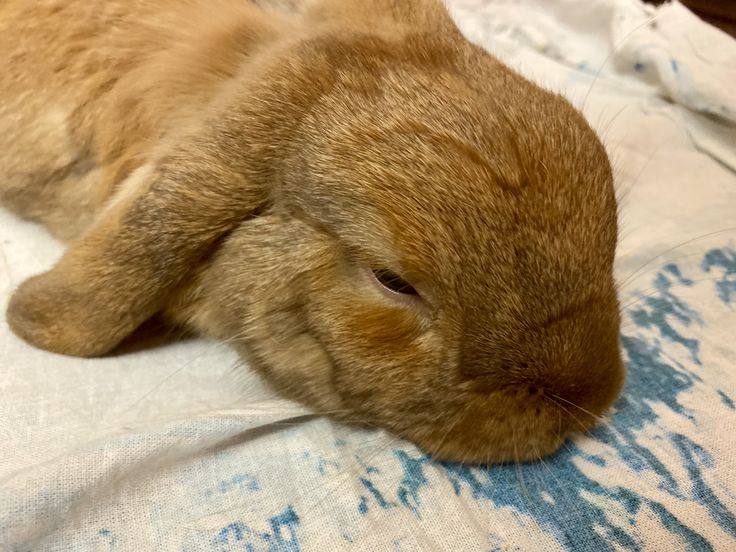Как спят декоративные кролики и сколько в сутки