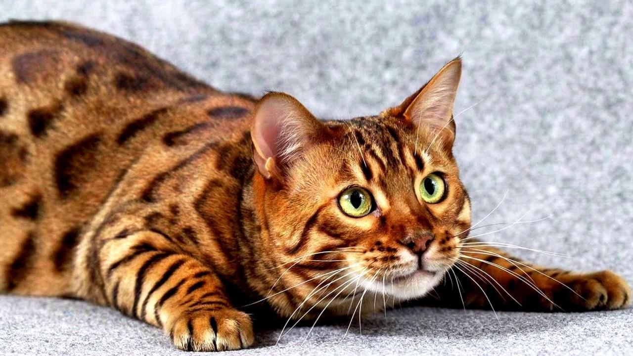 Самые популярные породы кошек в мире