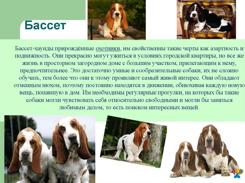 Бассет хаунд: описание породы собак и характер