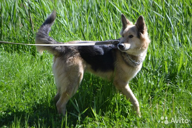 Помесь лайки и овчарки: описание метисов