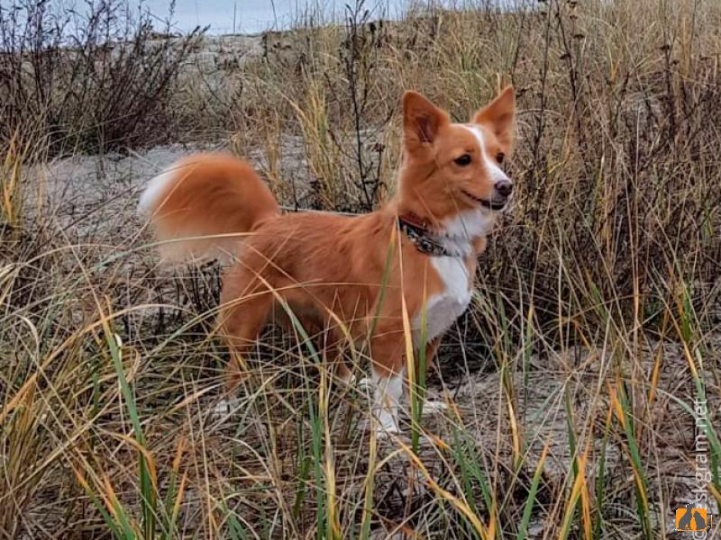 Алопекис — древнегреческая непризнанная порода собак