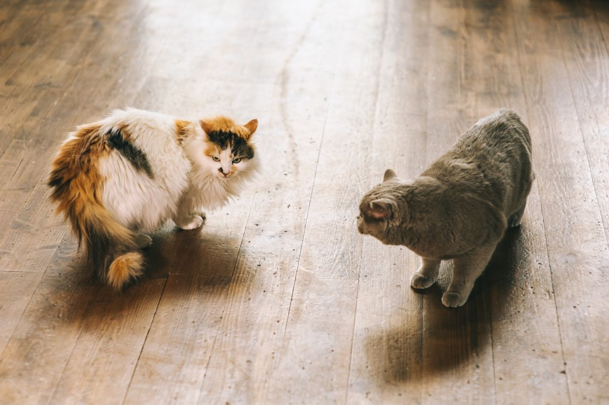 Кошкины заморочки: как помочь питомцу во время течки