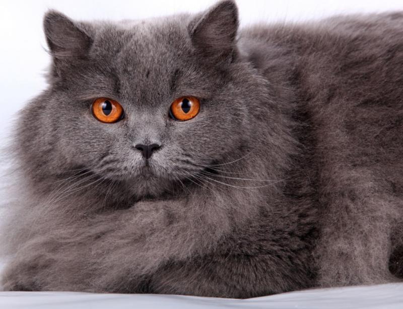 Британская длинношерстная кошка (хайлендер)