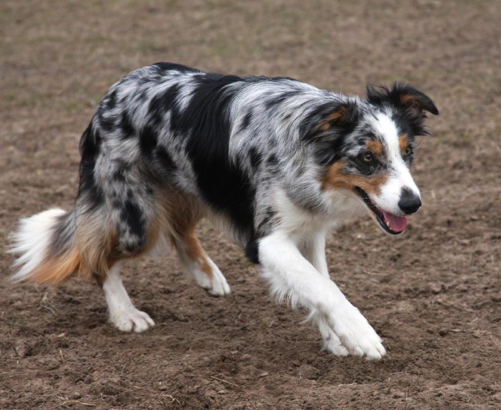 Черная собака: породы черного окраса шерсти