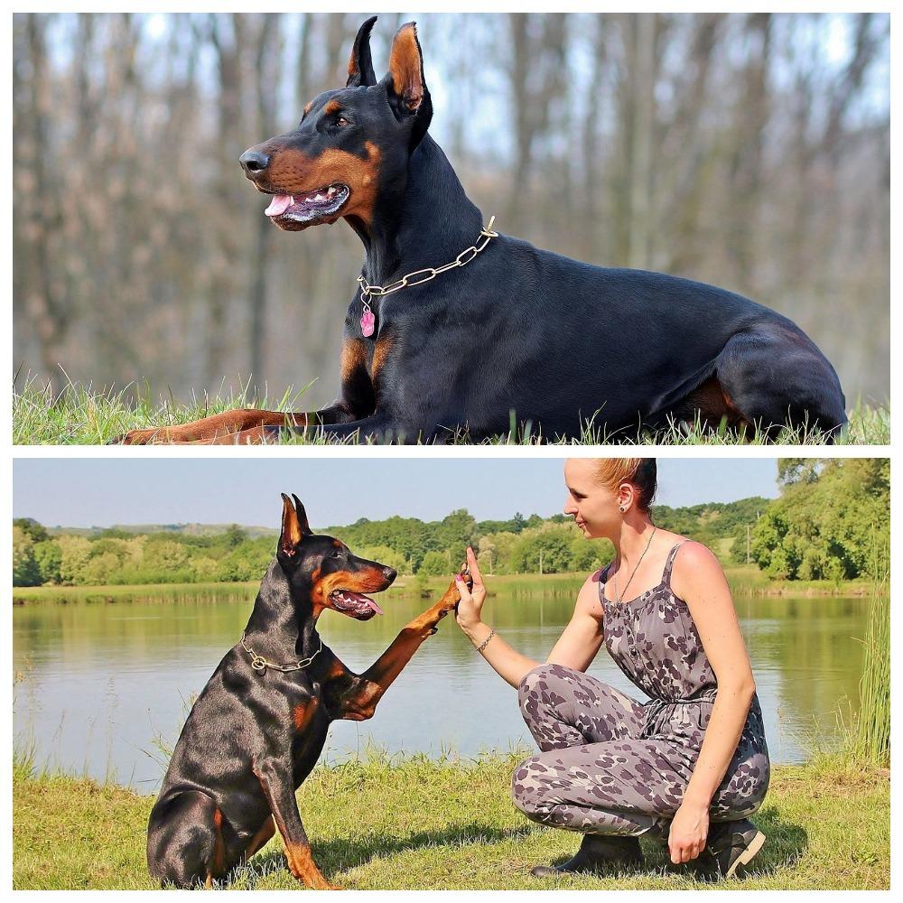 Доберман пинчер: описание породы собак, как выглядит