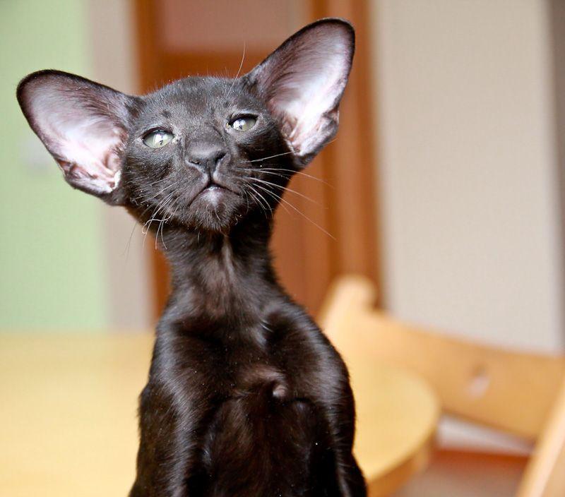 Ориентальная (восточная короткошерстная) кошка