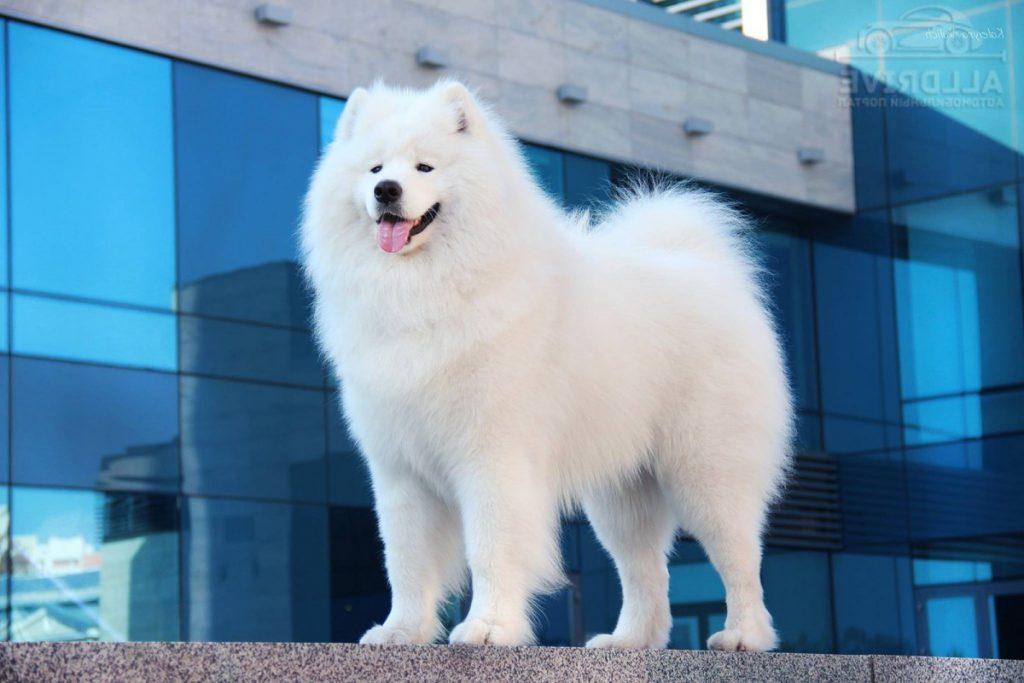 Самоед — порода собак