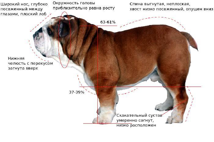 Английский бульдог: описание породы, характер