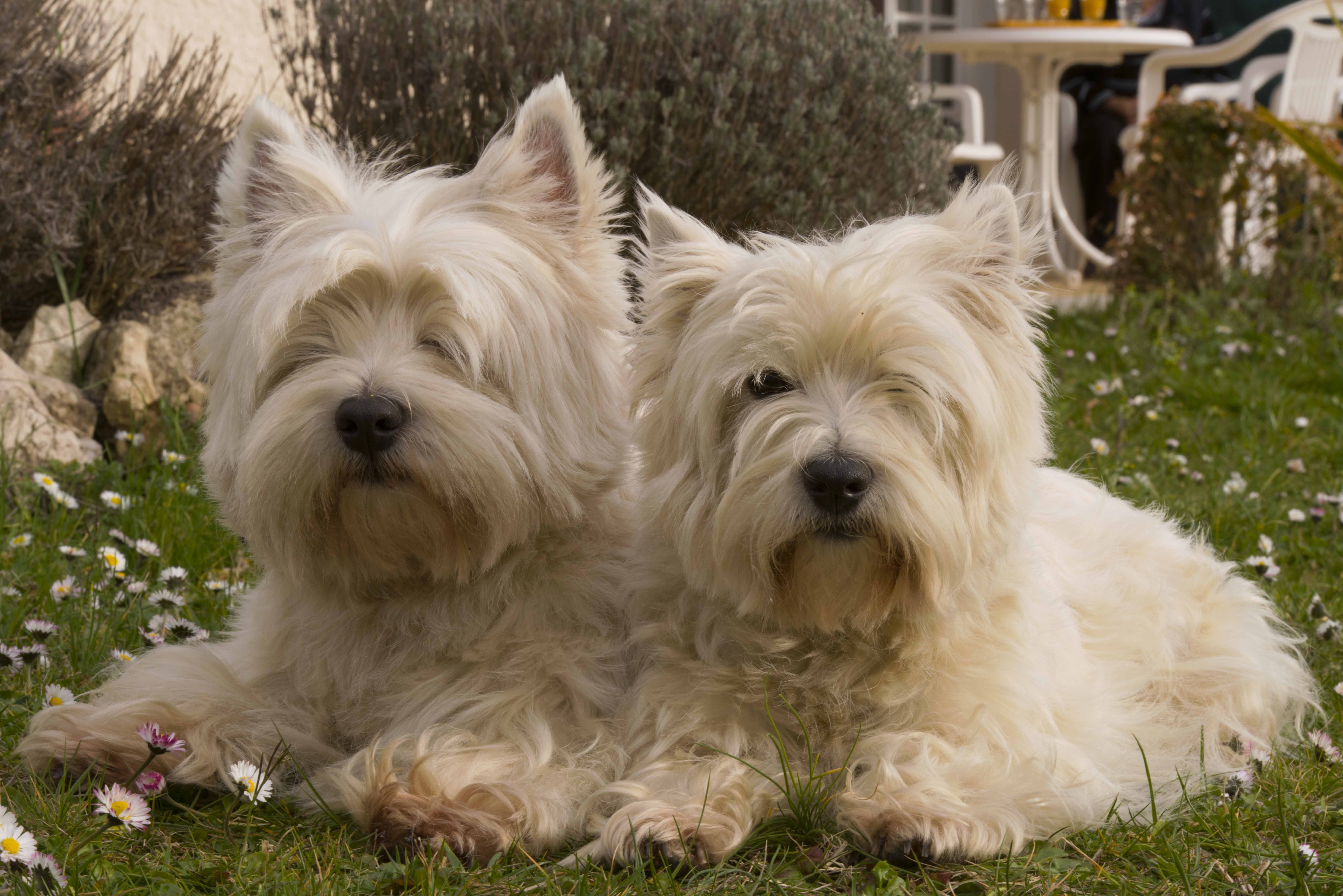Белый йоркширский терьер: название породы