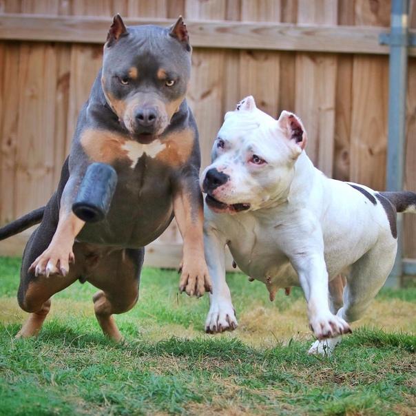 Бойцовые собаки: обзор пород и особенности дрессировки