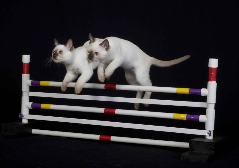 Кошки всё понимают: дрессировка