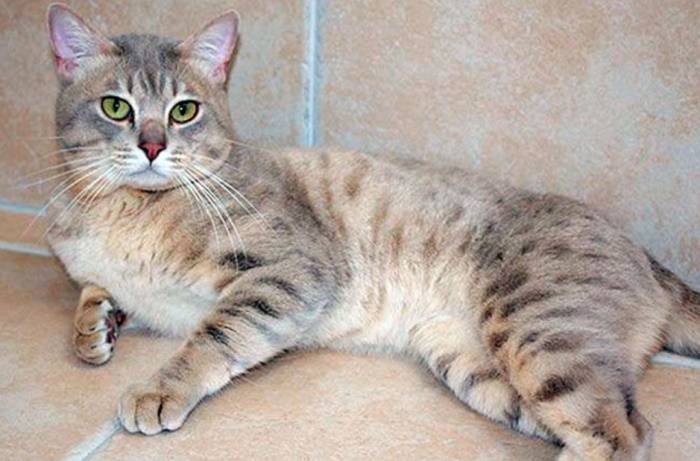 Дымчатая кошка: какой окрас у азиатской породы