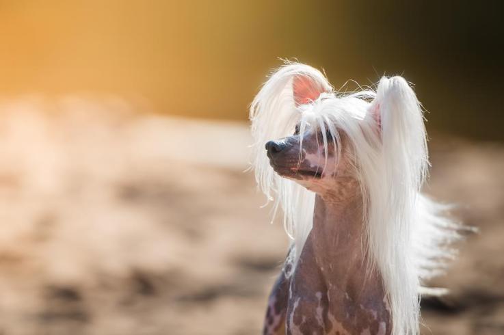 Китайская хохлатая собака: история и особенности породы