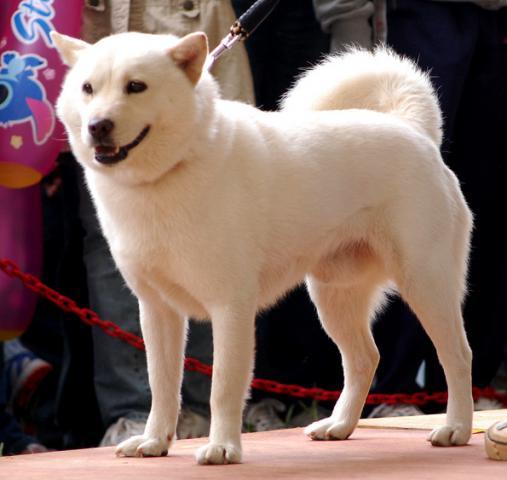 Хоккайдо (порода собак): подробное описание