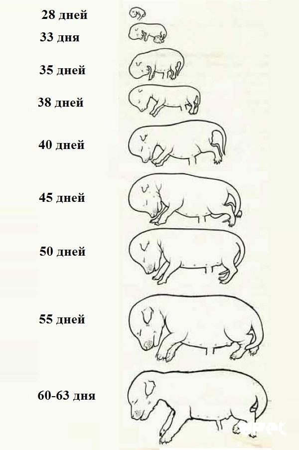 Сколько длится беременность у собак мелких и крупных пород