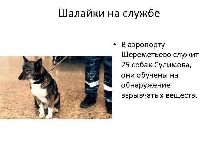Шалайка— суперсобака Сулимова