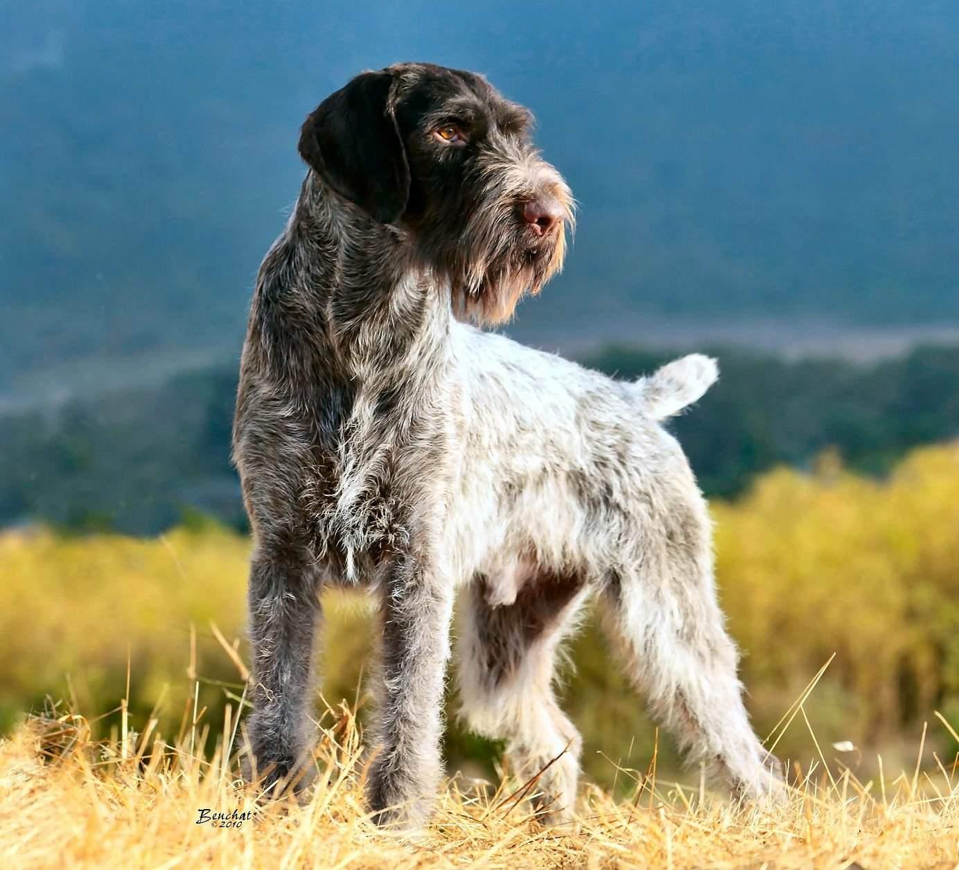 Прирождённый универсальный охотник — немецкий дратхаар
