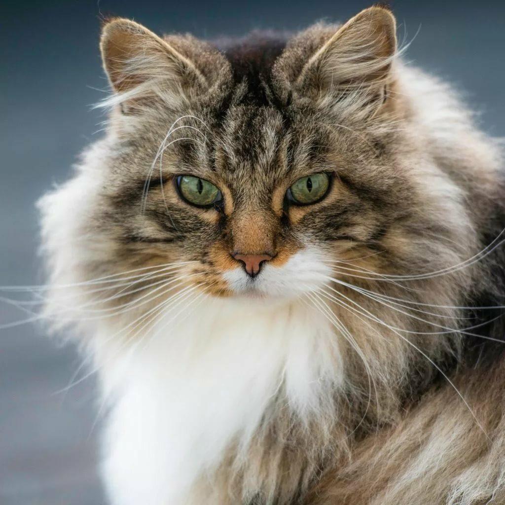 Норвежская лесная кошка (Скогкэт, Веги)