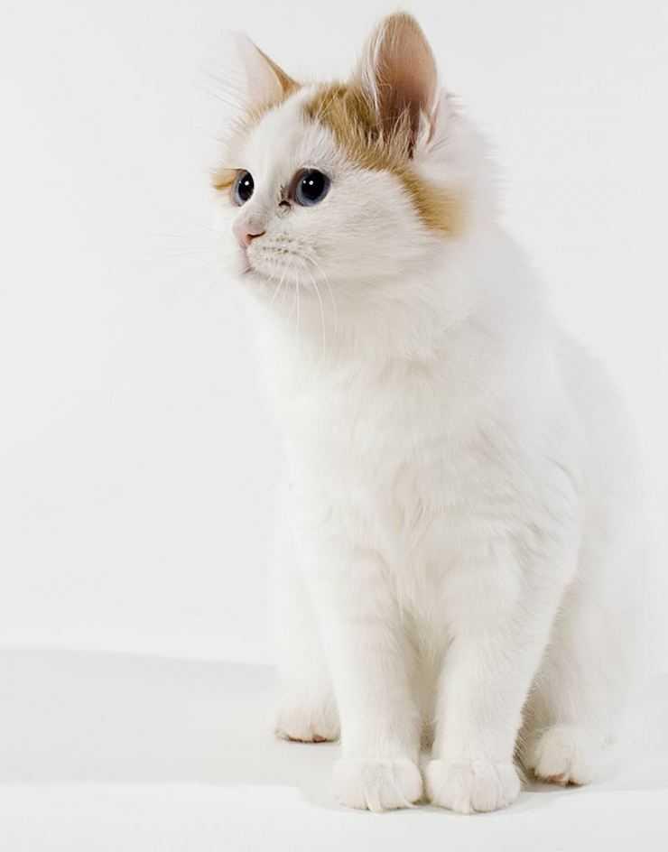 Турецкий ван (порода кошек): описание и особенности