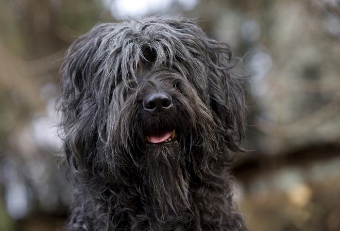Косматые бергамские овчарки — собаки с необычным шерстяным покровом и прекрасным характером