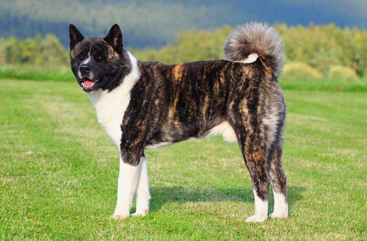 Американская акита: собака с мордой медвежонка, взглядом мудреца и телосложением атлета