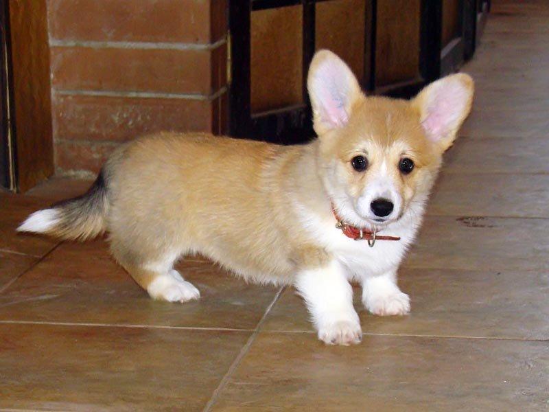 Собака с большими ушами и короткими лапами: порода