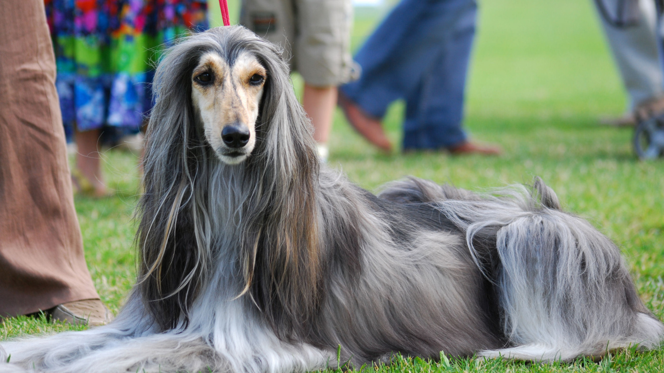 Афганская борзая собака: описание породы
