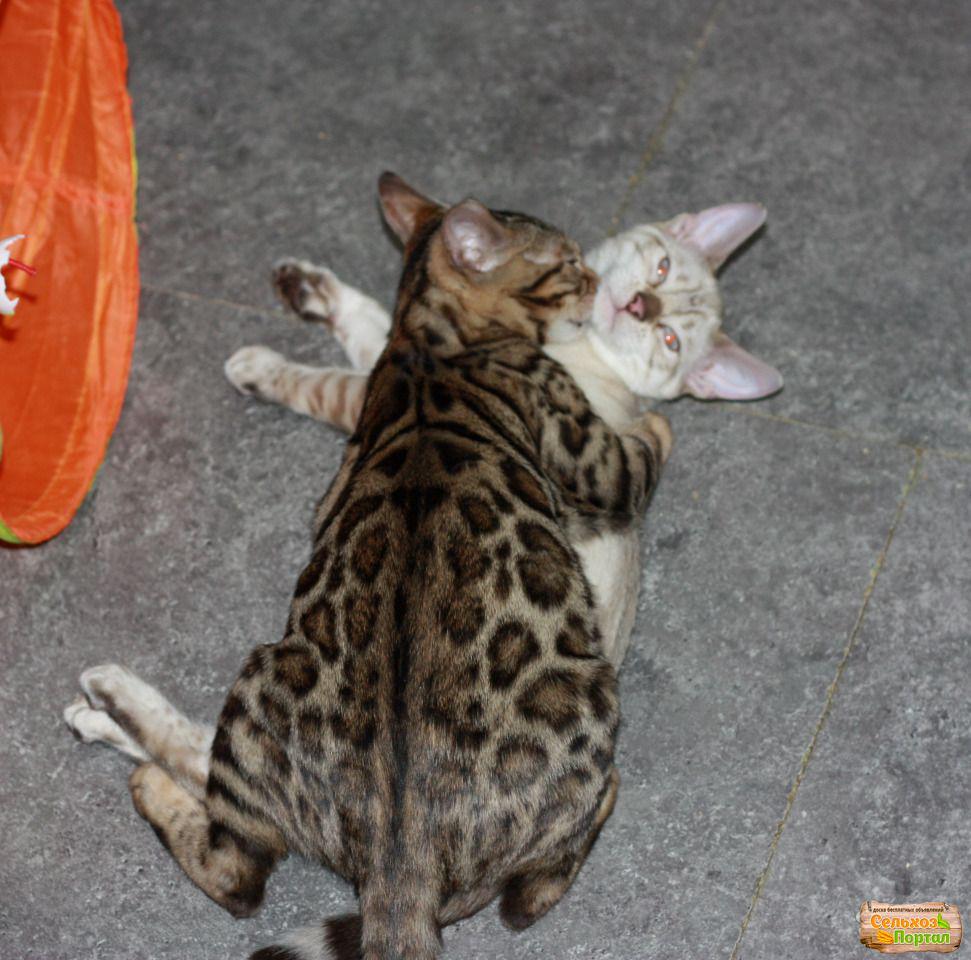 Питомники кошек различных пород в Санкт-Петербурге