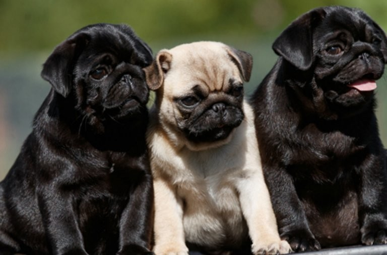 Уморительные мопсы: описание породы и особенности ухода