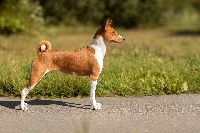 Басенджи — порода собак