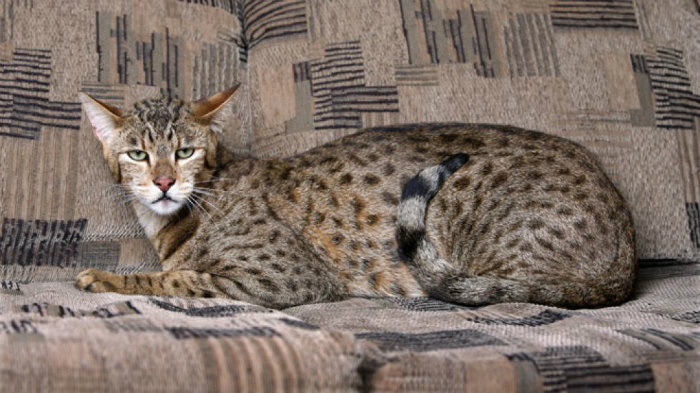 Кошка ашера: эксклюзив или афера