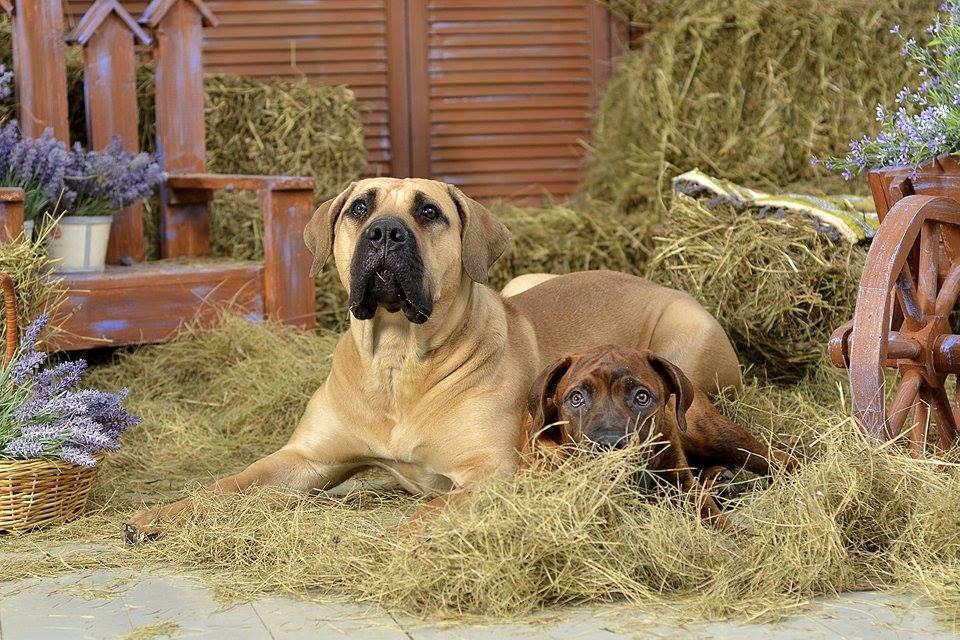 Южноафриканский бурбуль — порода собаки