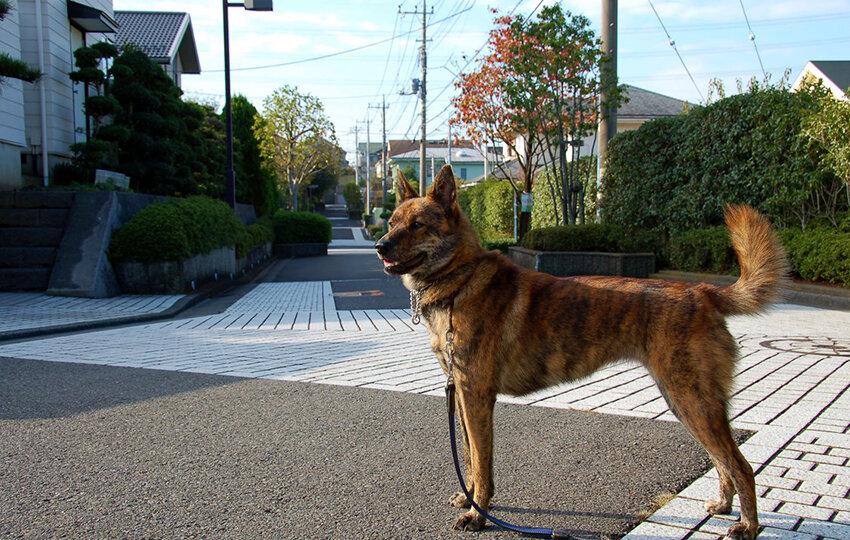 Каи (каи-ину, таро, каи-кен, японская тигровая собака)