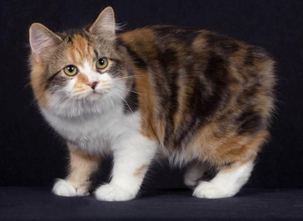 Кимрик (Уэльская кошка)