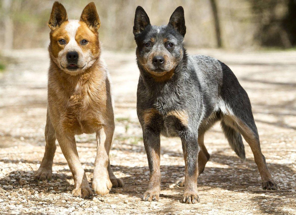Австралийский хилер (австралийская пастушья собака, австралийский кеттл дог)