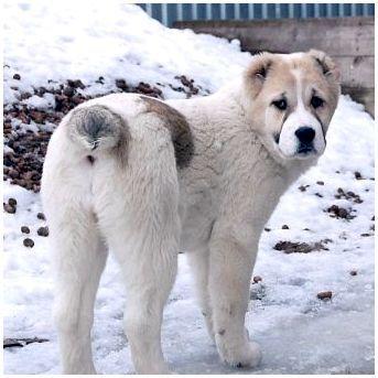 Самые агрессивные породы собак: топ-10