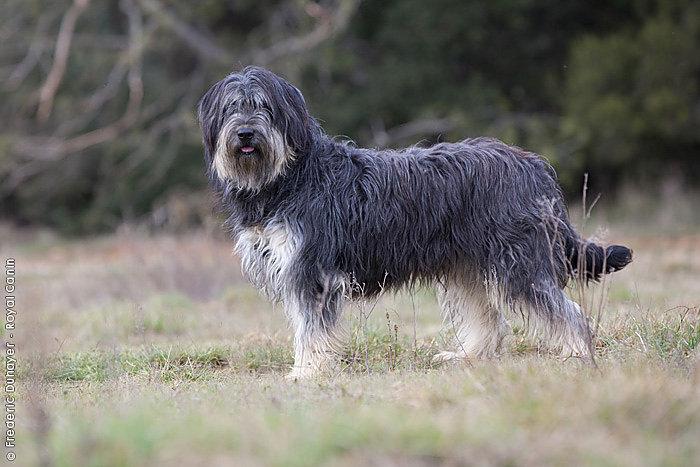 Каталонская овчарка