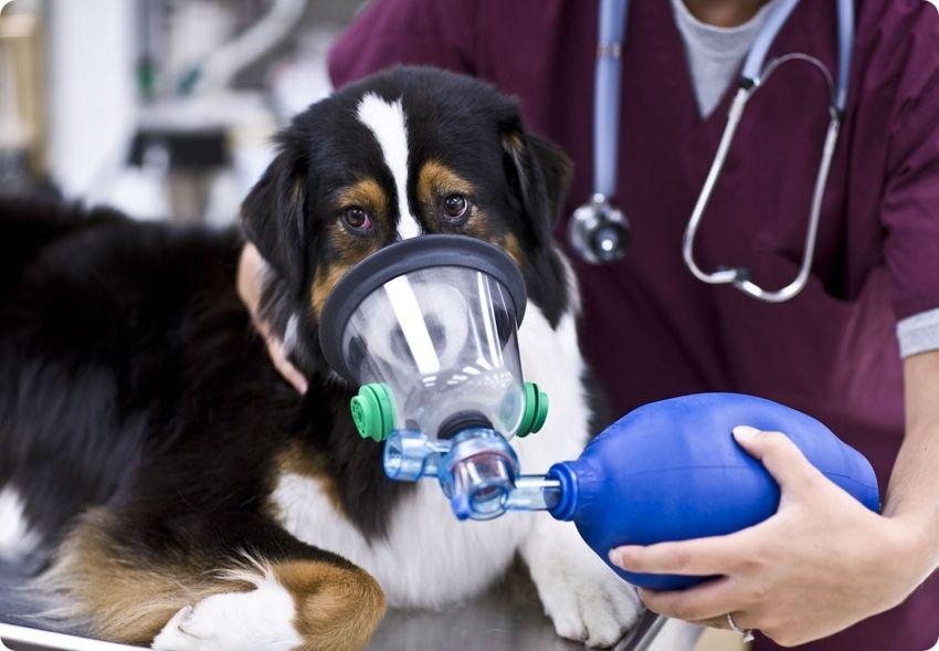 Заболевания органов дыхания у собак