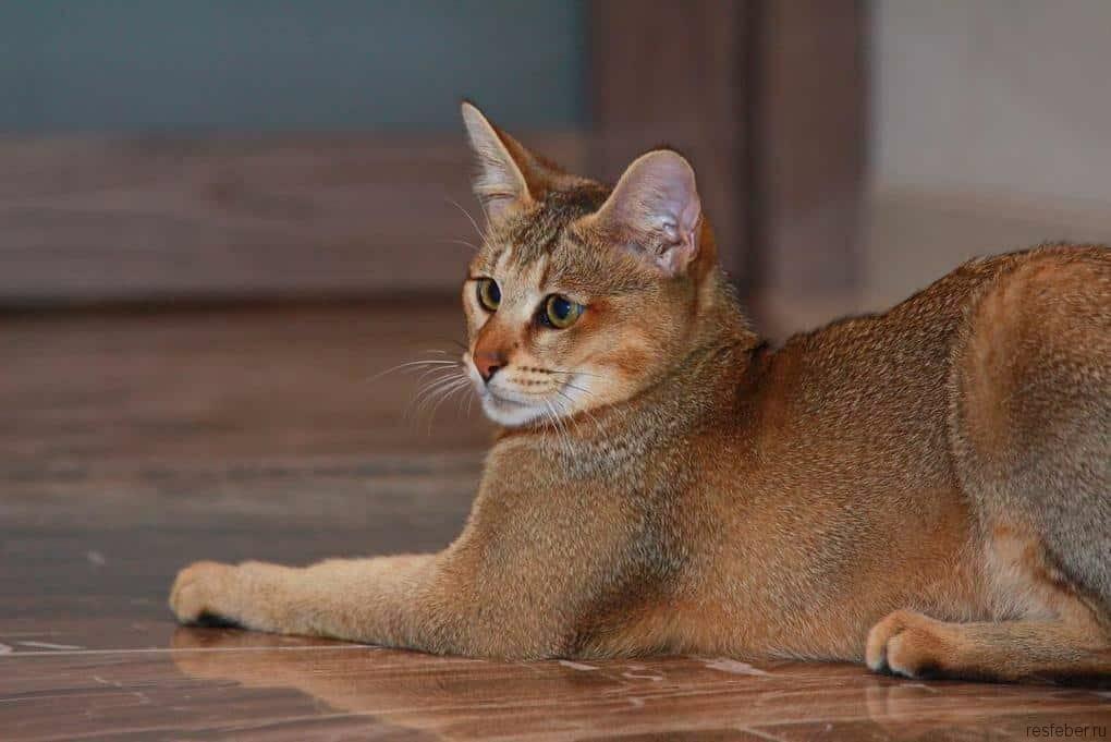 Домашняя кошка Пума