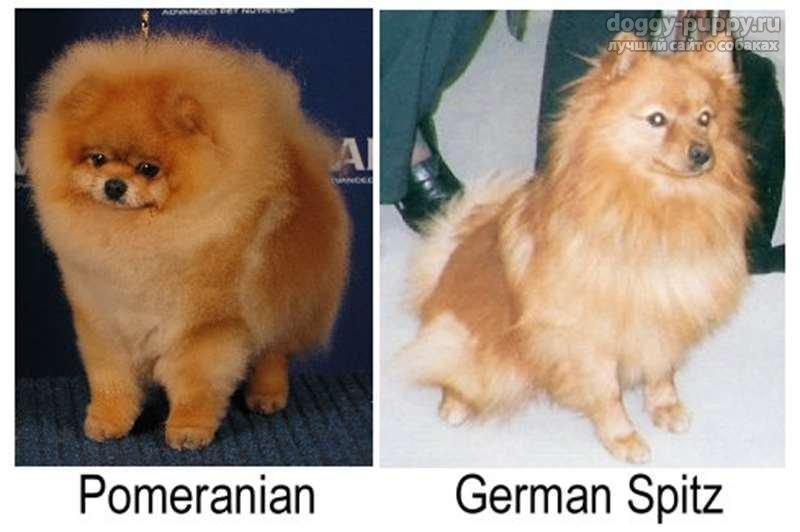 Померанский шпиц и немецкий шпиц: отличия