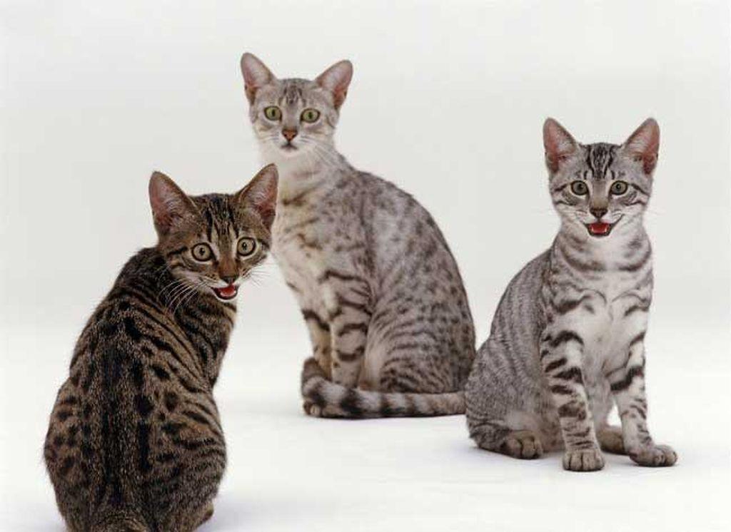 Азиатские породы кошек