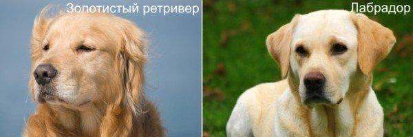 Ретривер и лабрадор: в чем разница, отличия пород