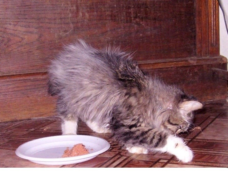 Почему кошки закапывают еду — рядом с миской и что это значит