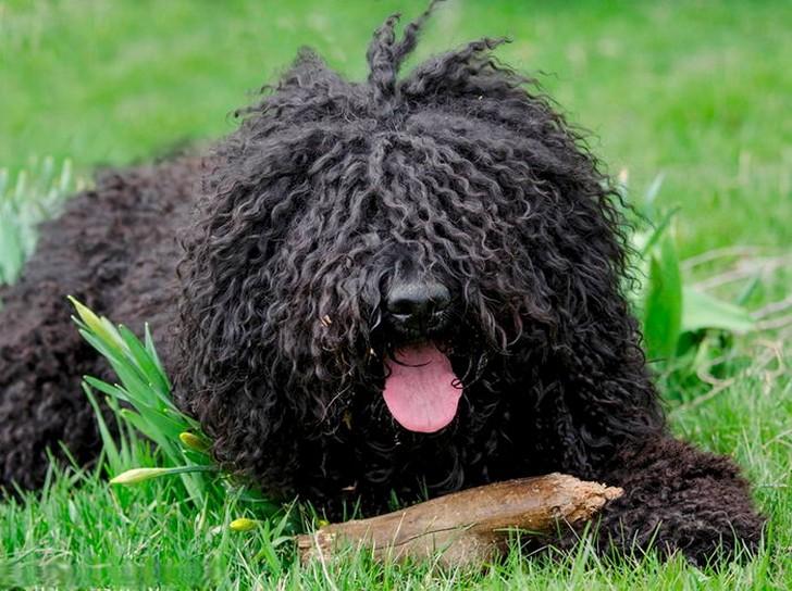 Барбет (французская водяная собака)