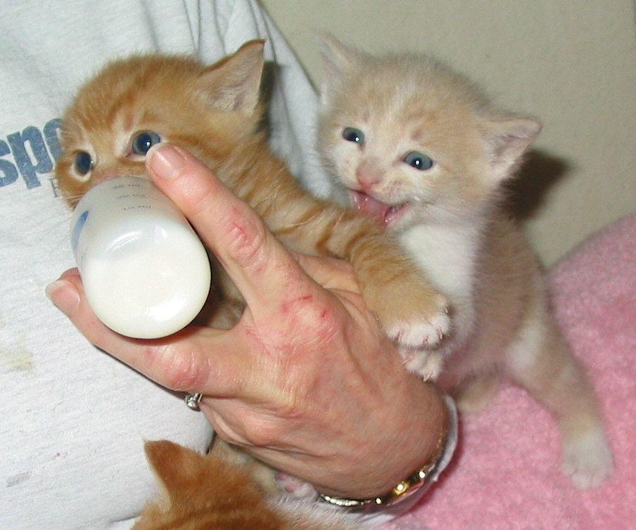 Когда котята начинают есть самостоятельно