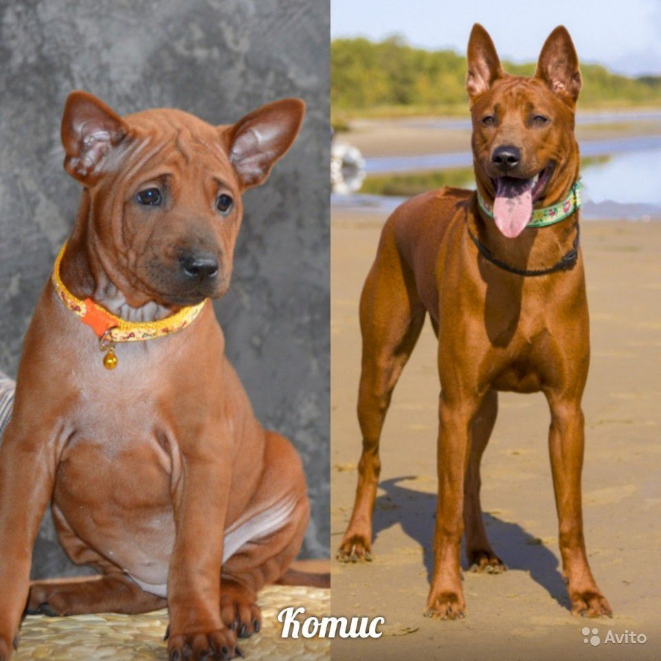 Тайский риджбек: описание породы, характер собак